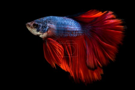 Photo for Colourful Betta fish,Siamese fighting fish in movement isolated on black background - Royalty Free Image