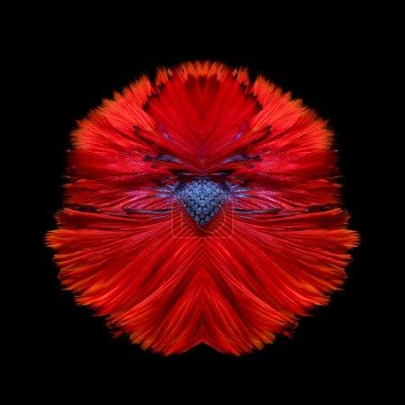 Photo pour Abstrait art de déplacement de queue de poisson de Betta poisson ou siamois fighting isolée sur fond noir. - image libre de droit