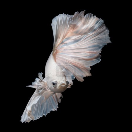 Photo for White platinum Betta fish or Siamese fighting fish in movement isolated on black background - Royalty Free Image