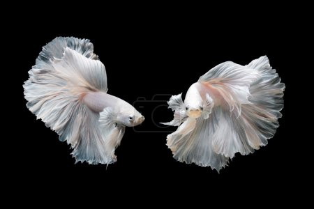 Photo for Betta fish,Siamese fighting fish in movement isolated on black background - Royalty Free Image