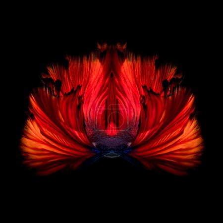 Photo for Abstract fine art colourful fish tail free form of Betta fish or Siamese fighting fish isolated on black background - Royalty Free Image