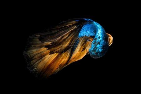 Photo pour Poissons colorés de Betta, poisson fighting siamois en mouvement isolé sur fond noir. - image libre de droit