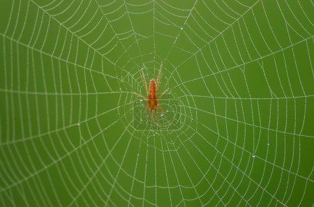 Wild red spider