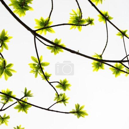 Foto de Rama de verano con hojas verdes frescas. - Imagen libre de derechos