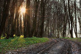 The road in the flowered spring forest at sunset