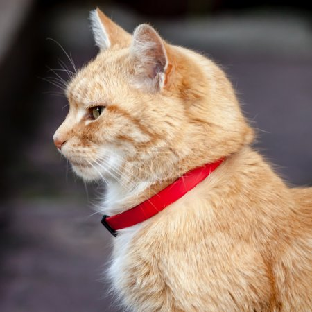 Head and Neck of Ginger Tabby Cat with Red Collar
