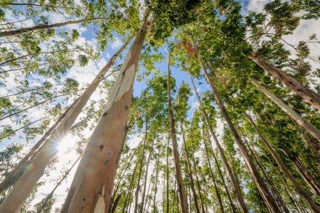 Photo pour Eucalyptus arbre contre ciel - image libre de droit