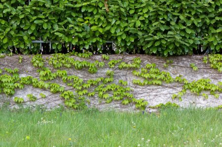 Hedge over an Ivy Covered Wall