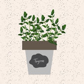 Vector - Fresh thyme herb in a flowerpot Aromatic leaves used t