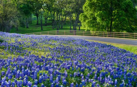Photo for Texas bluebonnet field along country road in early morning light - Royalty Free Image
