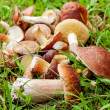 Edible delicious mushrooms in the autumn forest...
