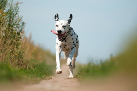 Foto de Front View of Exuberant Dalmatian Dog Running on Path Towards Camera - Imagen libre de derechos