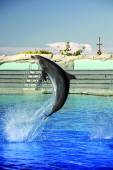 Bottlenose dolphin jumping high
