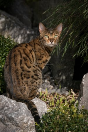 Bengal Cat in japanese Garden