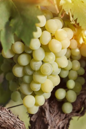 White grapes hanging on the vine in the sun