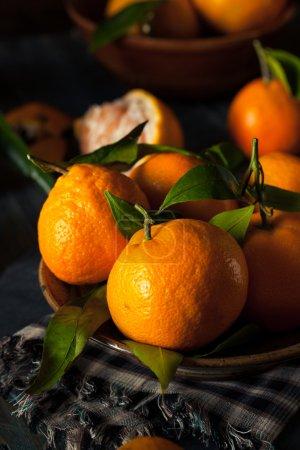 Raw Organic Satsuma Oranges with Green Leaves...