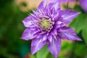Close up photo of clematis purple flower