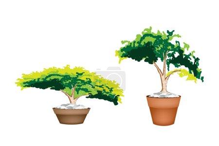 Two Evergreen Plant in Terracotta Flower Pot