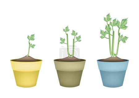 Fresh Celery Root in Ceramic Flower Pots