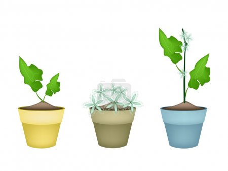 Three Lovely Ivy Gourd in Ceramic Flower Pots