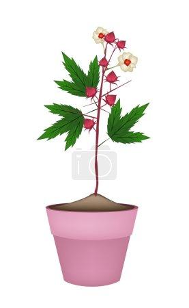 Hibiscus Sabdariffa Plant in Ceramic Flower Pots