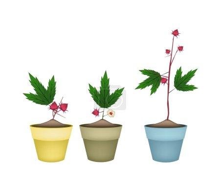 Three Hibiscus Sabdariffa Plant in Ceramic Pots
