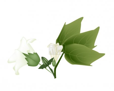 Fresh Cotton Flower with Bud on A Branch