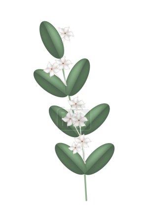 Белый мадагаскарский жасмин цветы