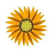 Elegant Perfect Orange Sunflower on White Background