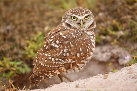 Burrowing Owl (Athene cunicularia) standing on the...