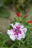 Květ karafiátu
