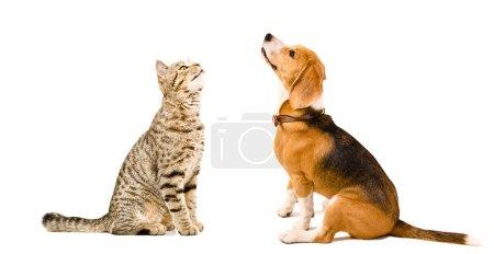 Cat Scottish Straight and beagle dog sitting together