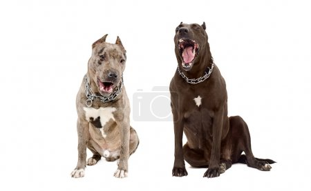 Photo for Two dogs of breed pit bull yawning sitting together isolated on white background - Royalty Free Image