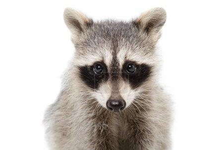 Portrait of a raccoon closeup