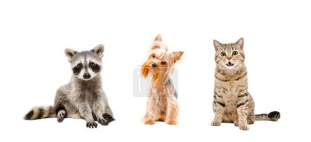 Raccoon, dog and cat