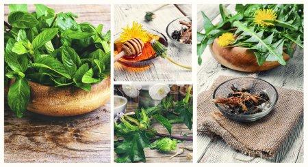 Photo pour Collage avec des plantes médicinales du pissenlit, de la menthe et de l'herbe Datura - image libre de droit