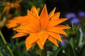 Květina gazánie rigens zblízka po dešti