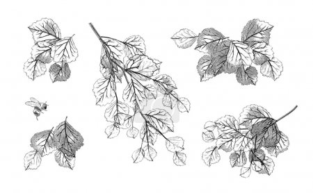 Illustration for Hand drawn tree branch leaves set. Collection of highly detailed vector foliage isolated on white - Royalty Free Image