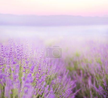 Photo pour Belle image du champ de lavande au-dessus du paysage estival du coucher du soleil . - image libre de droit