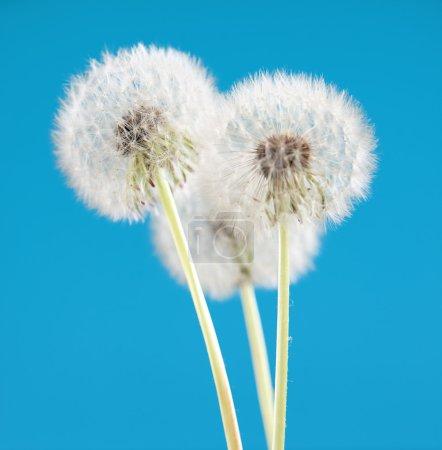 Photo pour Fleur de pissenlit sur fond de couleur bleue, de nombreux gros plan objet - image libre de droit