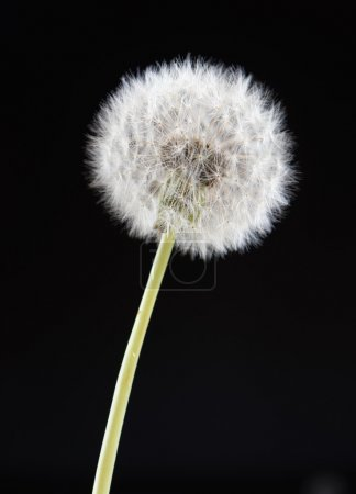 one dandelion flower on black color background, closeup object