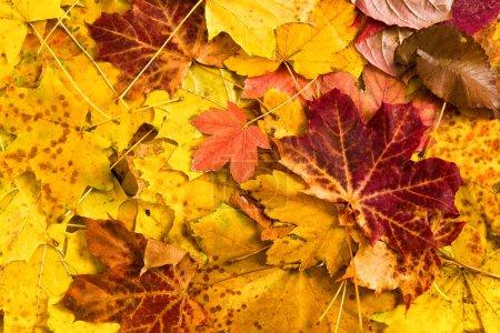 Photo pour Feuilles d'érable automne coloré comme toile de fond - image libre de droit