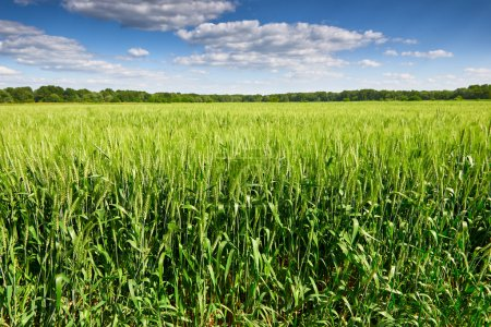 Foto de Campo de trigo y cielo azul paisaje de verano - Imagen libre de derechos