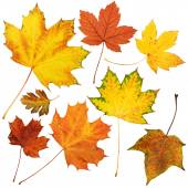 autumn maple leaves collection, object set isolated on white