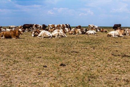 Las vacas descansan en un prado .