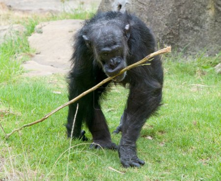 Photo pour Old chimp with prodding stick to get ants out of termite mounds - image libre de droit