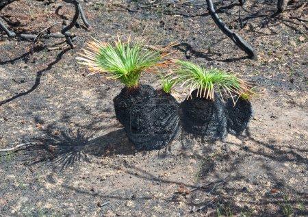 New life after bushfire Black Boys