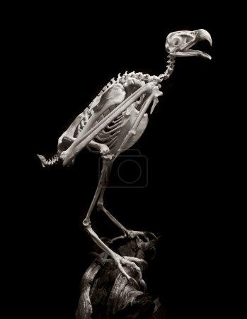 american peregrine falcon