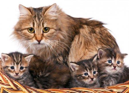 Photo pour Chat Sibérien mignon avec petits chatons isolé sur fond blanc - image libre de droit