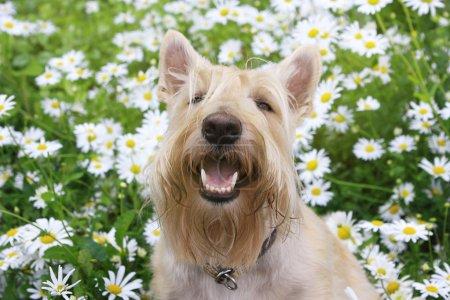 Smiling Wheaten Scottish Terrier portrait in chamomile flowers